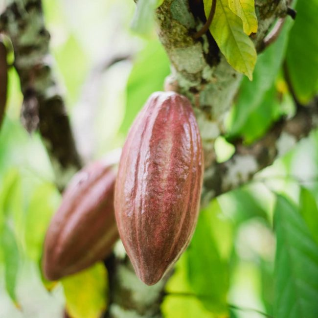 cacao_in_tree